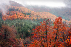 Forest in autumn with vivid colors. Forest in autumn with fog and vivid colors Royalty Free Stock Photo