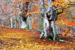 Forest in autumn with vivid colors Royalty Free Stock Images