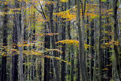 Forest in the autumn. Yelow leafs Royalty Free Stock Image