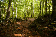 Forest, autunm beech Stock Images