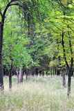 Forest avenue of chestnut trees Stock Image