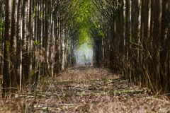 Forest avenue, Walkway through forest stock image