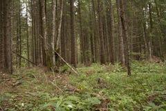 Forest Azuga Arkivbilder