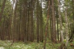 Forest Azuga Arkivfoto