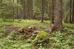 Forest Azuga Photos stock