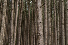 Forest background. Forest abstract background with many trees Stock Images
