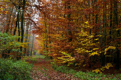 Forest background. Forest in autumn season with yellow end red colors backgrounds Stock Photography