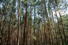 Forest background. Pines forest Royalty Free Stock Image