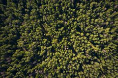 Forest background. Pine trees in green forest view from above. Summer forest aerial stock photo