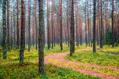Forest background of tree trunks and path royalty free stock photos