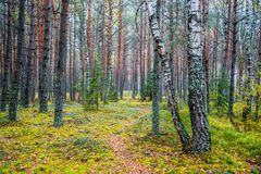 Forest background of tree trunks and path Stock Photos