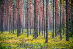 Forest background of tree trunks. View Royalty Free Stock Photos