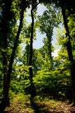 Forest in backlight, vibrant landscape Royalty Free Stock Photos
