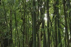 Forest of bamboo canes. In the garden Royalty Free Stock Images