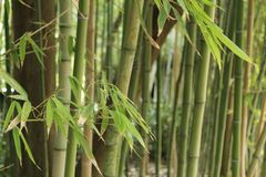 Forest of bamboo canes. In the garden Royalty Free Stock Photography