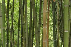 Forest of bamboo canes. In the garden Stock Photo