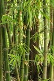 Forest of bamboo canes. In the garden Stock Photos