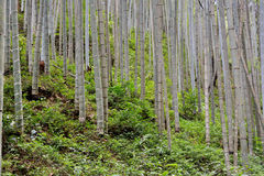 Forest of bamboo. Bamboo forest, lives in South China. shown as vital shape and green or environment concept Stock Image