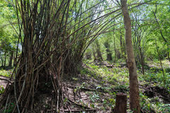 Forest with bamboo Stock Photo