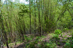 Forest with bamboo Stock Images