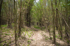 Forest with bamboo Royalty Free Stock Image