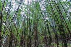 Forest bamboo Royalty Free Stock Photos