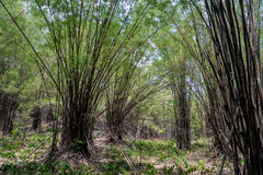 Forest bamboo Stock Photography