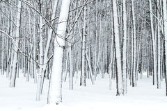Forest bare tree trunks covered with snow Royalty Free Stock Image