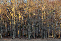 Bare trees in sunshine Royalty Free Stock Images