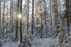 Forest in Bavaria Royalty Free Stock Images