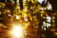 Forest beam. The sun's rays passing through the tree branches, green and yellow leaves Royalty Free Stock Image
