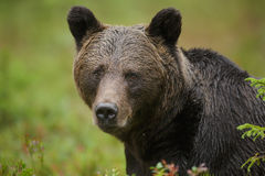 Forest bear Royalty Free Stock Images