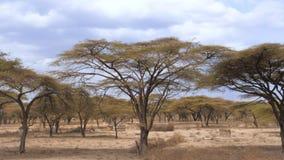 Forest Beautiful Acacia Trees Grown in der trockenen afrikanischen Savanne, Kenia lizenzfreies stockfoto