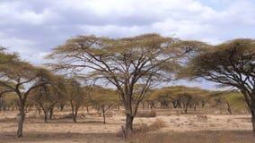 Forest Beautiful Acacia Trees Grown en la sabana africana árida, Kenia 4K almacen de video