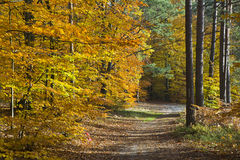 Forest in the beautiful autumn colors on a sunny day Stock Images