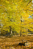 Forest in the beautiful autumn colors on a sunny day. Stock Photo