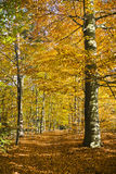 Forest in the beautiful autumn colors on a sunny day. Royalty Free Stock Images