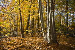 Forest in the beautiful autumn colors on a sunny day. Royalty Free Stock Image