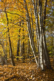 Forest in the beautiful autumn colors on a sunny day. Stock Image