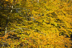 Forest in the beautiful autumn colors on a sunny day. Stock Images