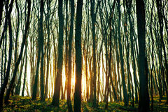 Forest. Beautiful dawn is in the green forest Stock Image