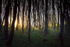 Forest. Beautiful dawn is in the green forest Royalty Free Stock Photography