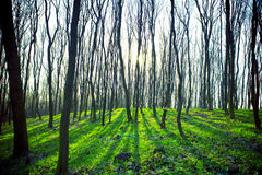 Forest. Beautiful dawn is in the green forest Stock Photography