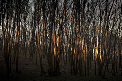 Forest. Beautiful dawn is in the green forest Royalty Free Stock Photo