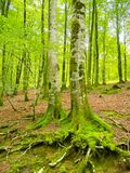 Forest. Beautiful forest landscape with green and brown tones.. Navarre. Spain Stock Images