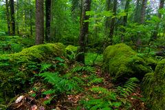 Forest Royalty Free Stock Photography