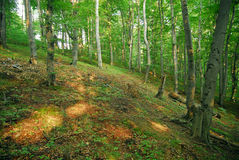 Forest (beech). Beech forest in Bieszczady region of Poland Royalty Free Stock Image