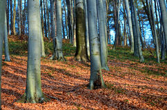 Forest. Beech forest in autumn colors Royalty Free Stock Image