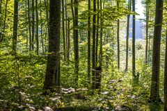 Forest of beech. Forest of deciduous trees, mostly beech Royalty Free Stock Images