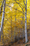 Forest of beech. Stock Photo